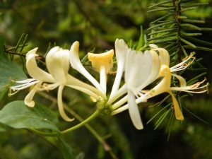 Honeysuckle rs