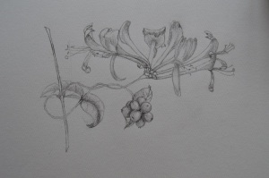 Honeysuckle sketch rs