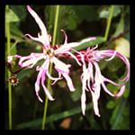 Ragged Robin at Magor Marsh