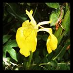 Yellow Flag Iris at Magor Marsh
