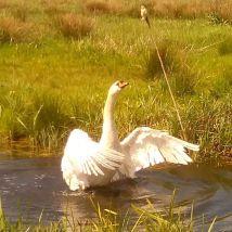 Swan at Magor Marsh