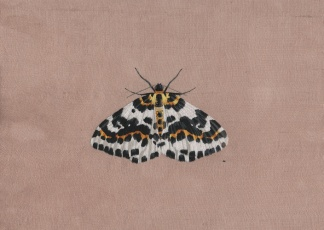 Magpie moth (3) rs